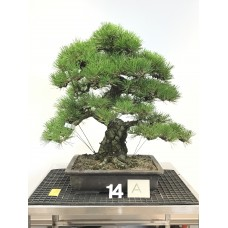 Pinus thunbergii [ID14A]