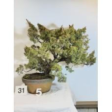 Juniperus itoigawa [ID31 PROG5]