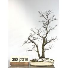 Acer Palmatum Deshojho [20-2018]
