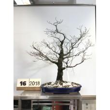 Acer palmatum arakawa (16-2018)
