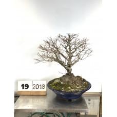 Acer palmatum (19-2018)