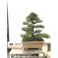 Pinus thunbergii (14-2018)