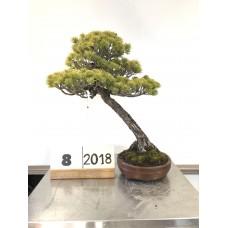 Pinus Phenthapylla  ( 8-2018)