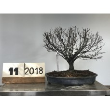 Zelkova serrata  (11-2018)