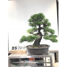 Pinus thunbergii  (25-2018)