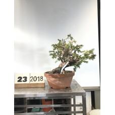 Taxus cuspidata (23 -2018)