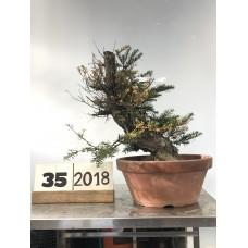 Taxus cuspidata (35-2018)