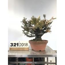 Taxus cuspidata (321-2018)