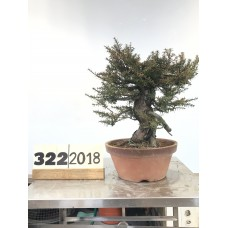 Taxus cuspidata (322-2018)