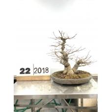 Acer palmatum ( 22-2018)