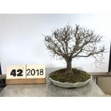 Zelkova serrata (42-2018)