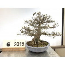 [SOLD] Rhododendrom indicum (6-2018)