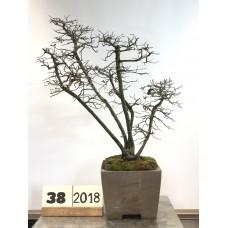 Diosphyros rhombifolia (38-2018)