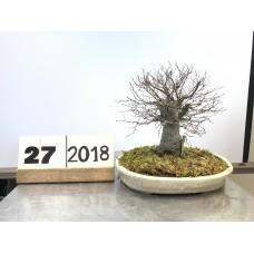 Zelkova serrata (27-2018)