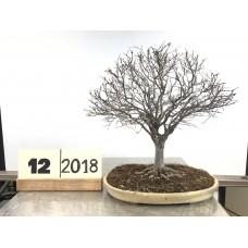 Zelkova serrata(12-2018)