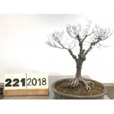 Zelkova serrata (221-2018)