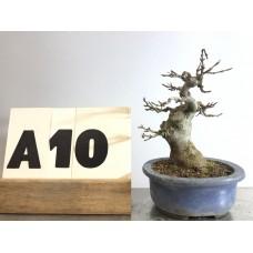 Acer burgerianum (A10-2018)