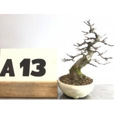 Acer buergerianum (A13-2018)