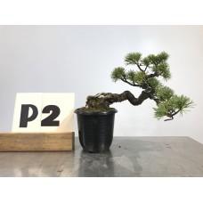 Pinus penthaphylla (P2-2018)