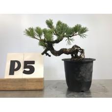Pinus phenthapylla (P5-2018)