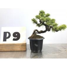 Pinus phenthapylla (P9-2018)