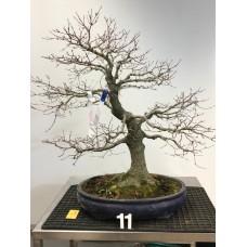 Acer palmatum [ID11]
