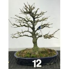 Acer buergerianum [ID12]