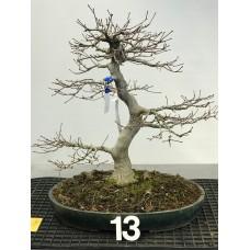 Acer palmatum [ID13]