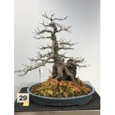 Acer buergerianum [ID29]
