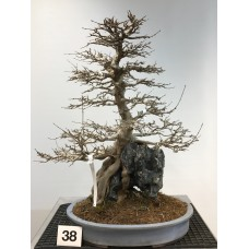 Acer buergerianum [ID38]