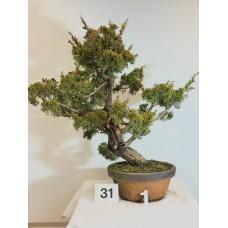 Juniperus itoigawa [ID31 PROG1]