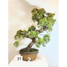 Juniperus itoigawa [ID31 PROG2]