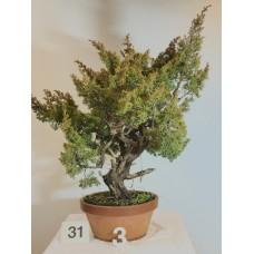 Juniperus itoigawa [ID31 PROG3]