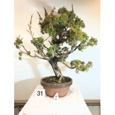 Juniperus itoigawa [ID31 PROG4]