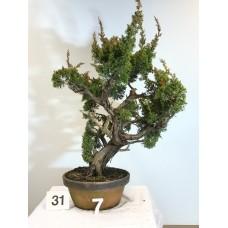 Juniperus itoigawa [ID31 PROG7]