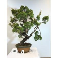 Juniperus itoigawa [ID31 PROG8]