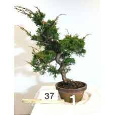 Juniperus itoigawa [ID37 PROG1]