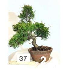 Juniperus itoigawa [ID37 PROG2]