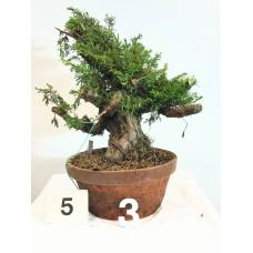 Juniperus itoigawa (nebari ⌀ 10 cm) [ID5 PROG3]