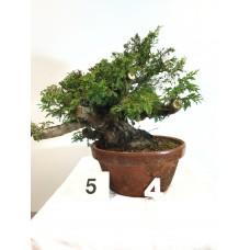 Juniperus itoigawa (nebari ⌀ 12 cm) [ID5 PROG4]