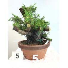 Juniperus itoigawa (nebari ⌀ 14 cm) [ID5 PROG5]