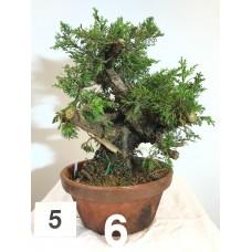 Juniperus itoigawa (nebari ⌀ 9 cm) [ID5 PROG6]