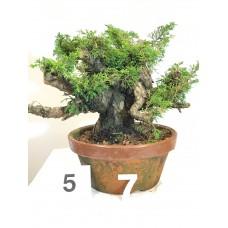 Juniperus itoigawa (nebari ⌀ 12 cm) [ID5 PROG7]
