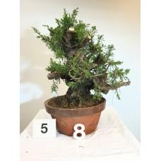 Juniperus itoigawa  (nebari ⌀ 10 cm) [ID5 PROG8]