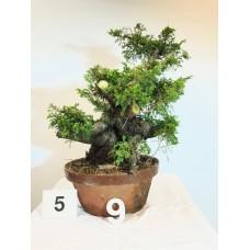 Juniperus itoigawa  (nebari ⌀ 10 cm) [ID5 PROG9]