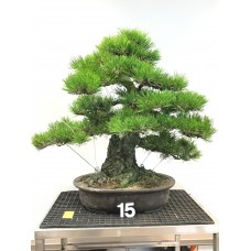 [VENDUTO] Pinus thunbergii [ID15]