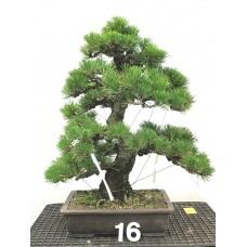 Pinus thunbergii [ID16]