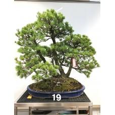 [VENDUTO] Pinus pentaphylla [ID19]