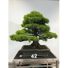 Pinus pentaphylla [ID42]