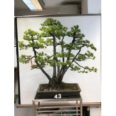 VENDUTO Pinus pentaphylla [ID43]